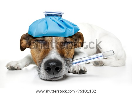 sick dog with a ice bag - stock photo