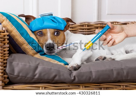 sick ill   jack russell  dog getting a shot or vaccine for the pain  - stock photo