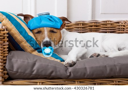 sick ill   jack russell  dog sleeping and suffering with pacifier in mouth  - stock photo
