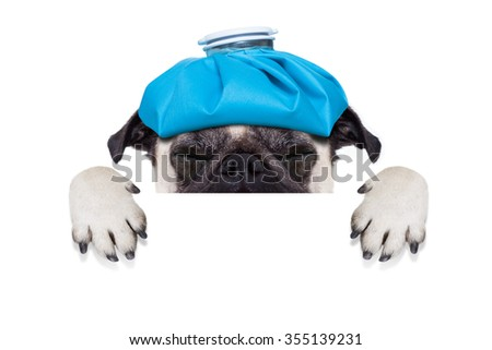 sick ill pug  dog  with  headache,  isolated on white background - stock photo