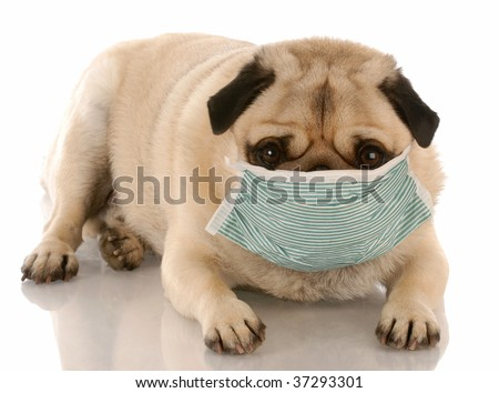 sick or contagious pug wearing a medical mask - stock photo