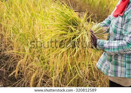Sickle is a hand-held traditional agricultural tool in farmer's hand preparing to harvest - stock photo