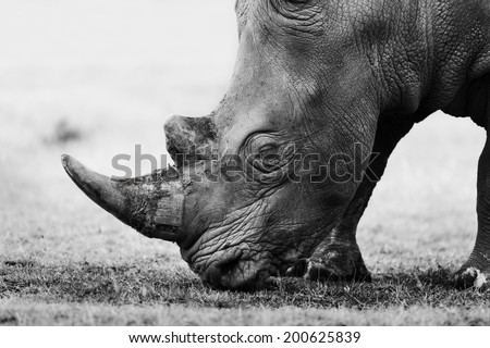 Side black and white portrait of a grazing White Rhino in Lake Nakuru National Park, Kenya - stock photo