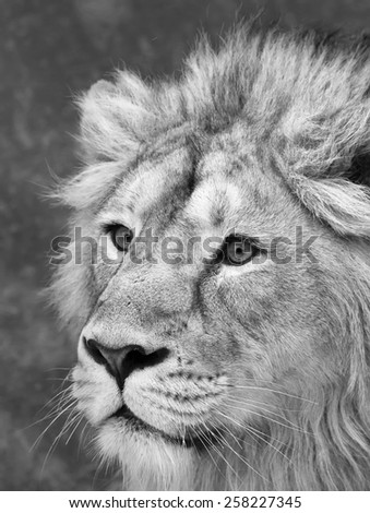Side face portrait of adorable lion with snowflakes on his forehead. Winter cold is not bad weather for the excellent King of beasts, big cat. Amazing beauty of wild nature in black and white image. - stock photo