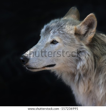 Side face portrait of an arctic wolf, isolated on black background. The molting polar wild dog, representative of severe and cold North. Wild beauty of the nature. - stock photo