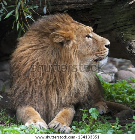 Side face portrait of an Asian lion, resting in forest shadow. The King of beasts, biggest cat of the world. The most dangerous and mighty predator of the world. Square image. - stock photo