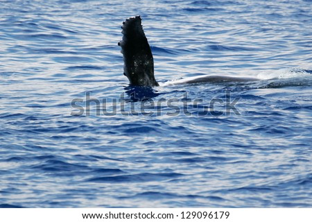 Side flipper of Humpback whale. 	Humpback whale are swimming next to coast of Hawaii island. View of side fin of young Humpback whale. - stock photo
