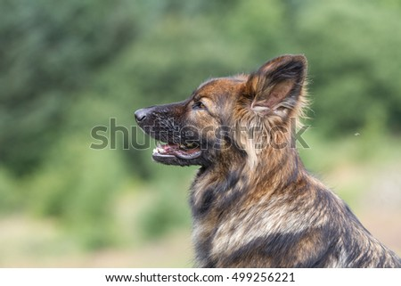 Side head view of a big German Shepherd Dog taken outside, he is brown and black