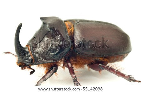 Side Macro view of rhinoceros or unicorn beetle over white background - stock photo