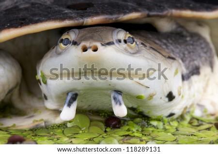 Side-necked Turtle / Phrynops hilarii - stock photo