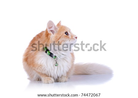 side of a cat looking up - isolated on white