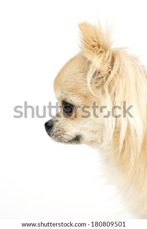 Side portrait of a beautiful purebred long hair chihuahua, showing characteristic apple head shaped head, looking left - stock photo