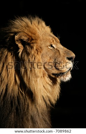 Side portrait of a big male African lion (Panthera leo), against a black background, South Africa - stock photo