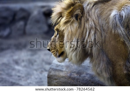 Side portrait of a big male African lion (Panthera leo), against a blur background