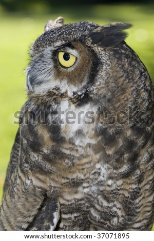 Side portrait of a great horned owl.