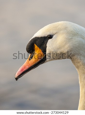 Side Portrait of a Swans head  - stock photo