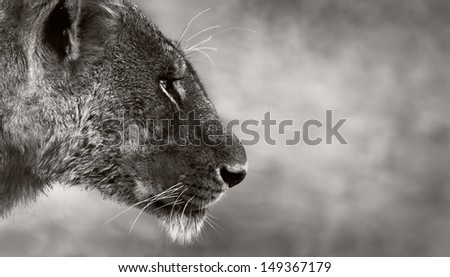 Side portrait of a wild lioness - stock photo