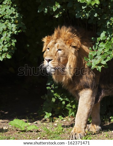 Side portrait of a young Asian lion in sunny day. The head with splendid mane of the King of beasts. Wild beauty of the biggest cat. - stock photo