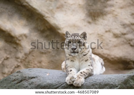 side portrait of big famous cat, snow leopard - Irbis, Uncia uncia