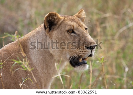 Side portrait of lioness with grass in background - stock photo