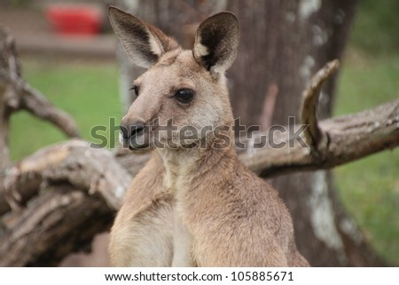 Side profile head shot of a large male Australian Kangaroo