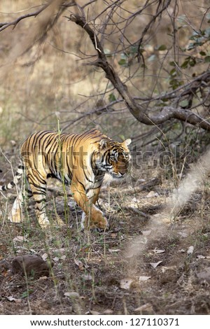Side profile of a female tigress, Ranthambore National Park - Rajasthan, India