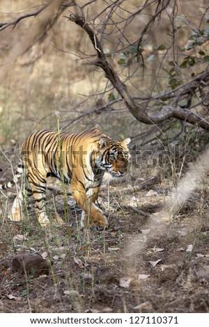 Side profile of a female tigress, Ranthambore National Park - Rajasthan, India - stock photo