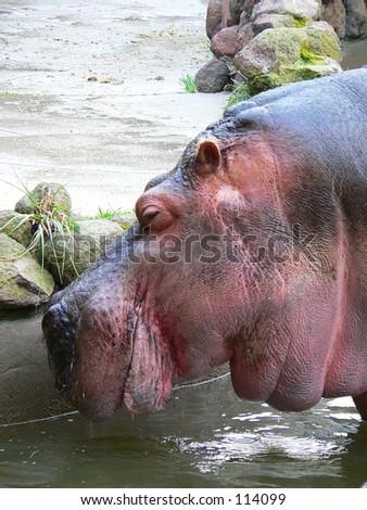Side profile of a hippopotamus. - stock photo