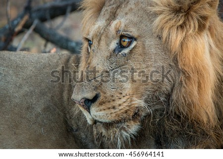 Side profile of a male Lion in the Kruger National Park, South Africa.