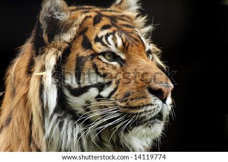 Side profile of a Sumatran Tiger - stock photo
