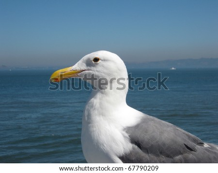 Side Profile of a Western Gull against the background of the San Francisco Bay - stock photo