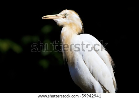 Side profile of a white Heron - stock photo