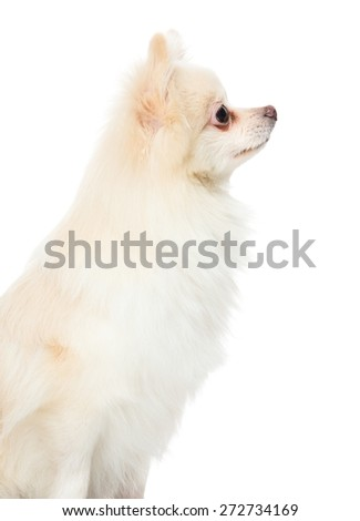 Side profile of pomeranian dog - stock photo