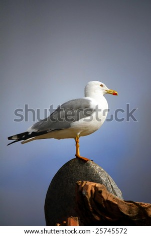 Side profile view of an adult yellow-legged gull on top of a rock.