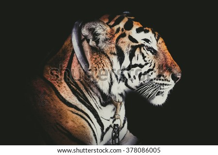 Side Tiger photo.Abstract Side face portrait tiger isolated on black background  fade filter.Tiger side face on black. wallpaper Tiger photo on black. tiger face to right side - stock photo