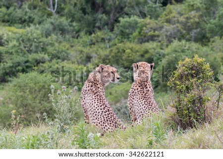 Side view and rear view of two male, sitting adult Cheetah keeping watch, Acinonyx jubatus, in South Africa - stock photo