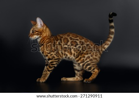 Side View Bengal Cat on Black Background