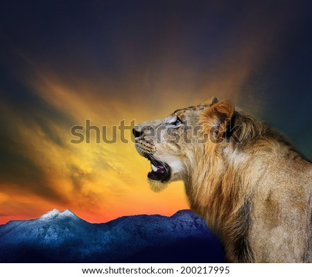 side view close up head shot of young lion roar against beautiful dusky sky and rock mountain use for natural wild life and animals theme - stock photo