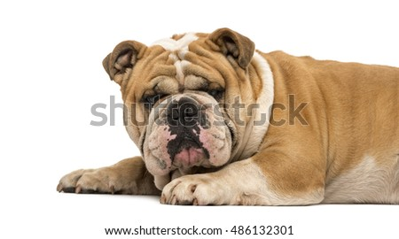 Side view English bulldog lying down and facing, isolated on white