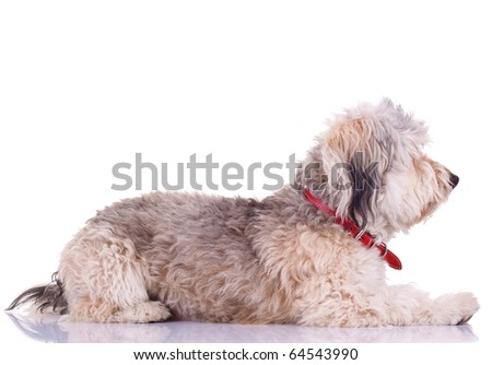 side view of a Bearded Collie in front of a white background - stock photo