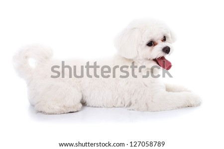 Side view of a beautiful lying bichon dog isolated over white background