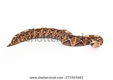 Side view of a Bitis gabonica, known as a Gaboon Viper Snake which is commonly found in Africa - stock photo