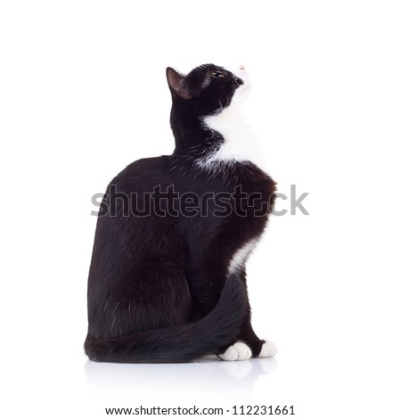 side view of a black and white cat looking up to something with its tail nar body - stock photo