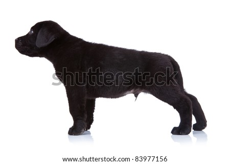side view of a black labrador retriever puppy standing on a white background