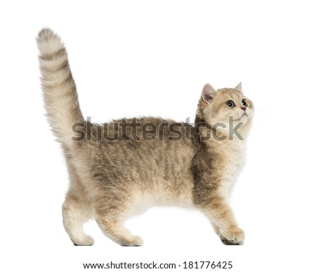 Side view of a British shorthair looking up, isolated on white - stock photo