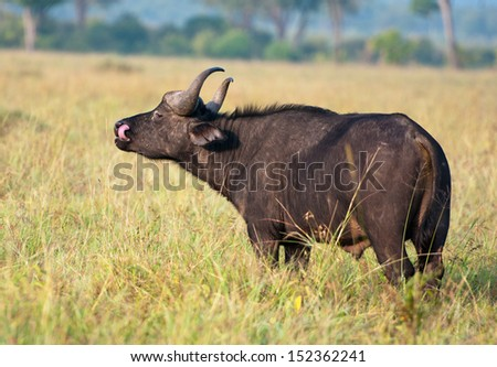 side view of a buffalo licking its face in the savannah - national park masai mara in kenya - stock photo