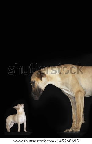 Side view of a Chihuahua and Great Dane standing against black background - stock photo