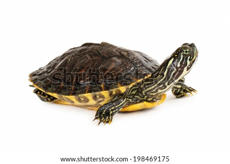 Side view of a colorful river Cooter Turtle sitting on a white backdrop