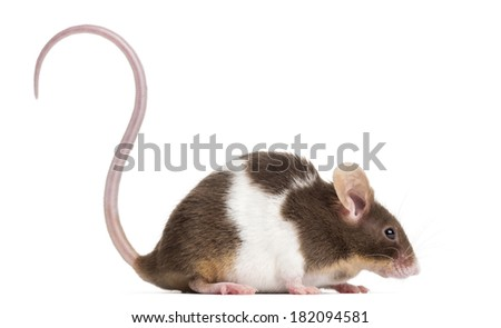 Side view of a Common house mouse, Mus musculus, isolated on white - stock photo