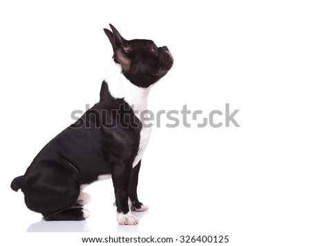 side view of a curious french bulldog puppy dog looking up to something, isolated on white background - stock photo